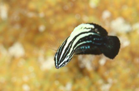 ミヤケベラ幼魚