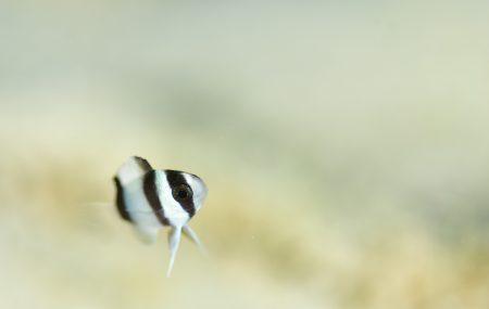 ミスジスズメダイ幼魚