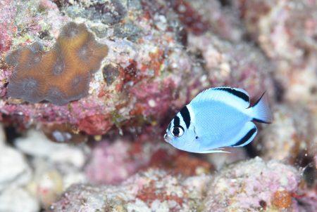 ヒレナガヤッコ幼魚