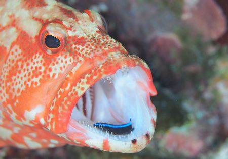 ニジハタとホンソメワケベラ幼魚