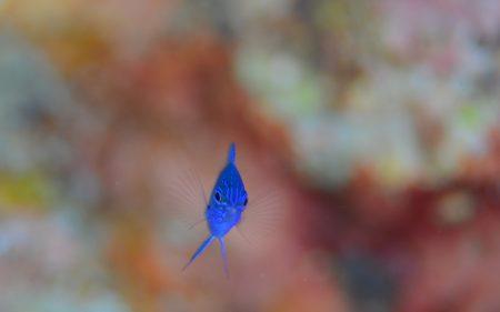 ナガサキスズメダイ幼魚
