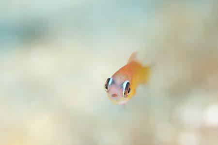 クジャクベラ幼魚