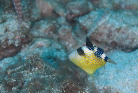 イソモンガラ幼魚