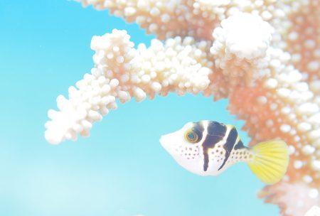 ノコギリハギ若魚