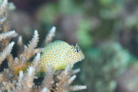 セダカギンポ若魚