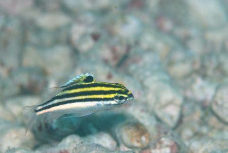 フタスジタマガシラ幼魚