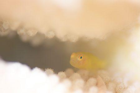 ダルマハゼsp幼魚