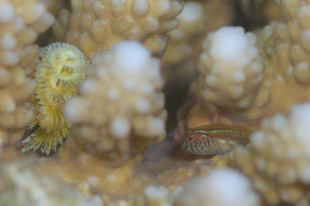 イレズミコバンハゼ幼魚