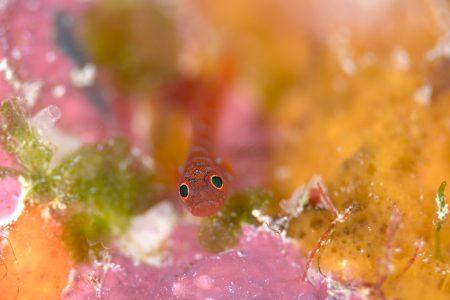 スジシマイソハゼ幼魚