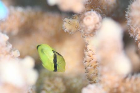 トノサマダイ幼魚