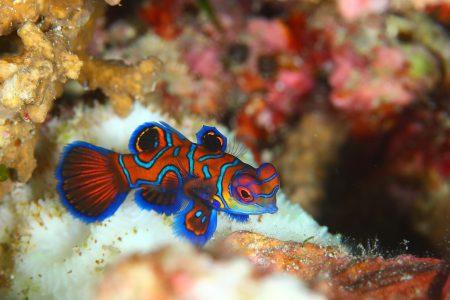 ニシキテグリ若魚