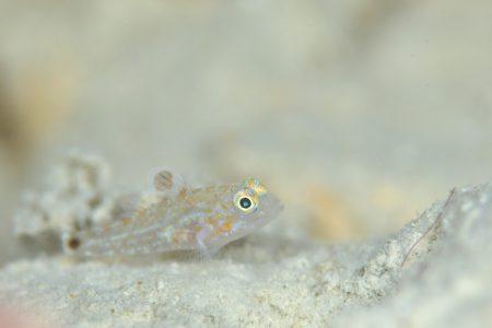 フタホシホシハゼ幼魚
