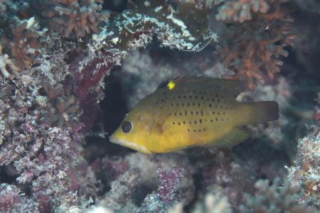 ギチベラ若魚