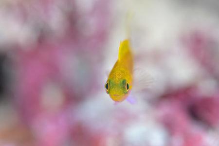 スミレナナハナダイ幼魚
