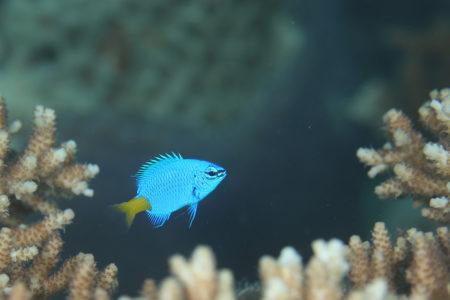 シリキルリスズメ若魚