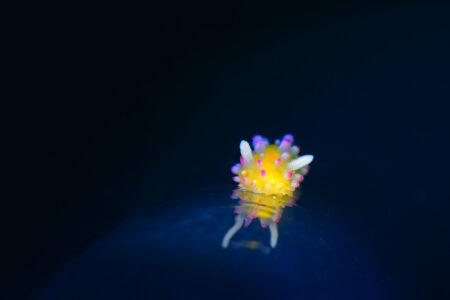 イガグリウミウシ