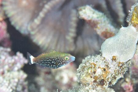 ブチブダイ幼魚