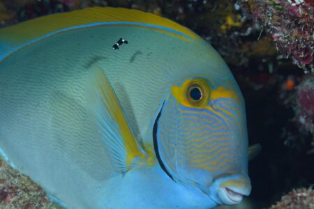 スミツキベラ幼魚とニセカンランハギ