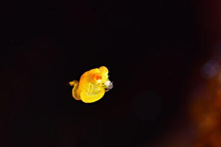 ヒメオオメアミ捕食中