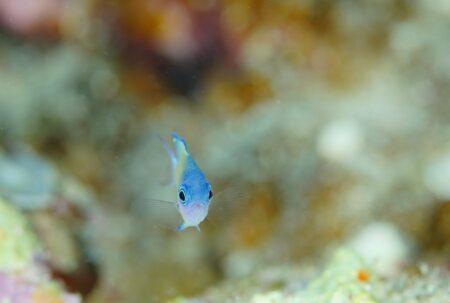 オナガスズメダイ幼魚