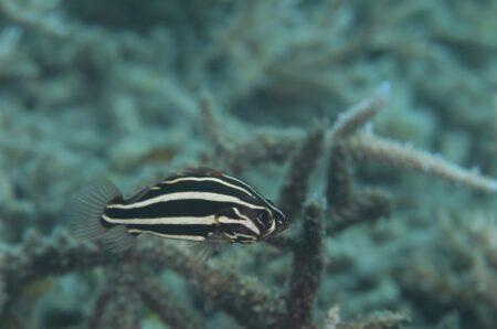 ヌノサラシ・若魚