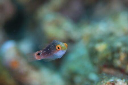 トモシビイトヒキベラ幼魚