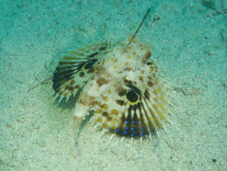 セミホウボウ幼魚