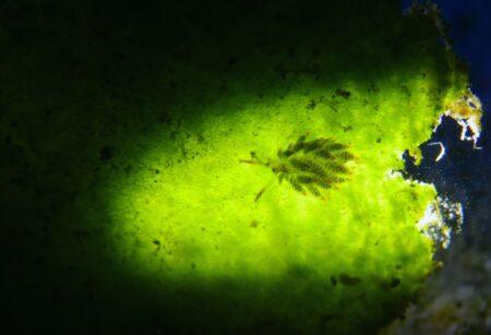 クサイロモウミウシ