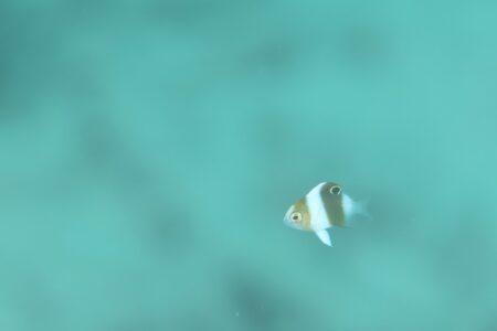 ダンダラスズメダイ幼魚