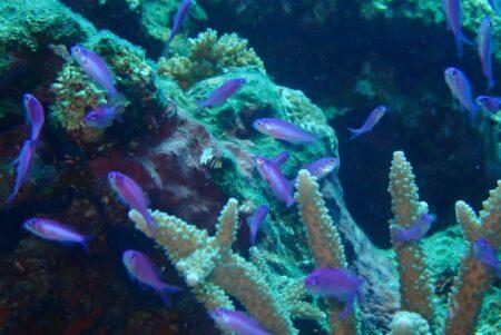 ハナゴイ幼魚