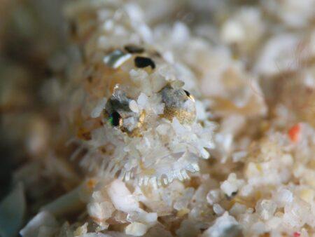 ヒゲモジャハゼ幼魚