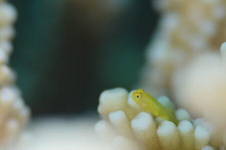 キイロサンゴハゼ幼魚