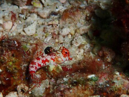 ミヤケテグリかコウワンテグリ幼魚