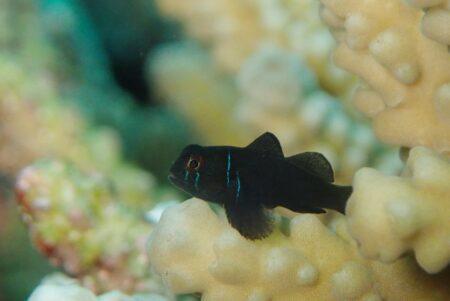 コバンハゼ幼魚