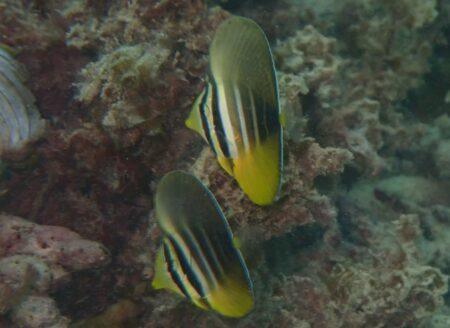 ヒレナガハギ幼魚☓2