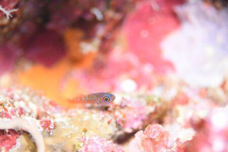アオベニハゼ幼魚