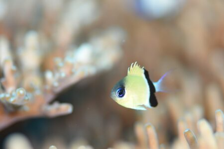 クロオビスズメダイ幼魚