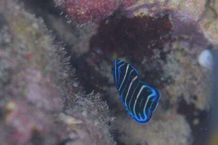 ロクセンヤッコ幼魚