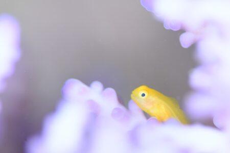 キイロサンゴハゼ若魚