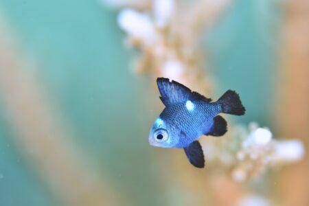 ミツボシクロスズメダイ幼魚