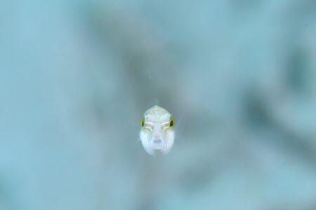 カザリキンチャクフグ幼魚
