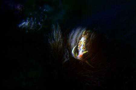 ヒブサミノウミウシ