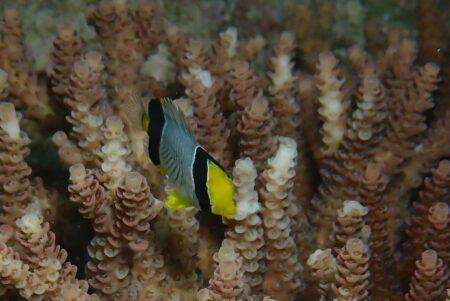 ヤリカタギ幼魚