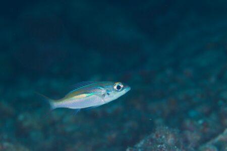 カメンタマガシラ幼魚