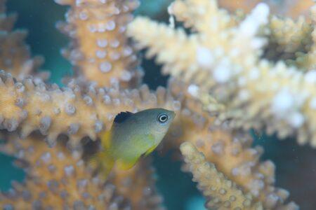 クロソラズメダイ幼魚