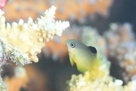クロソラスズメダイ幼魚