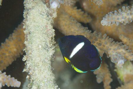 アブラヤッコ幼魚