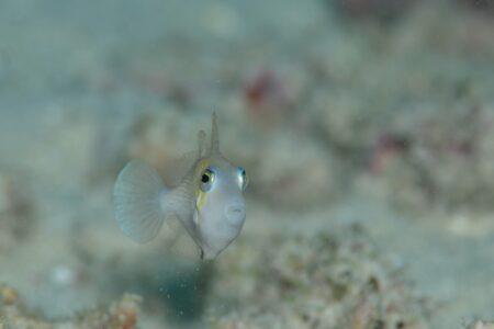 ムスメハギ若魚